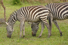 Junges Zebra mit Erwachsenem im Wald Lizenzfreie Stockfotos