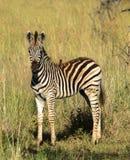 Junges Zebra mit Vogel stockbild