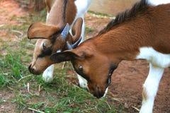 Junges Ziege-Spiel-Kämpfen Stockbilder