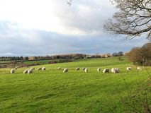 Jungeschafe auf dem Gebiet an Bullsland-Bauernhof, Chorleywood stockbilder