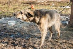 Jungeschutz-Wachhund geht um den Stand auf einer Kette Lizenzfreie Stockfotografie
