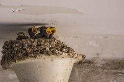 Jungeschwalbe Stockfoto