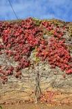 Jungfernrebe, die ein Baummuster auf einer Steinwand macht Stockbilder
