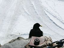 Jungfrau, Switzerland. An alpine chough stock photography