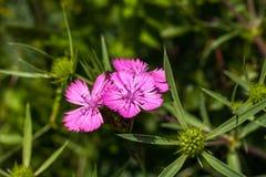 Jungfru- rosa färger för Dianthusdeltoides Royaltyfria Bilder