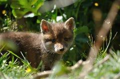Junggesicht des roten Fuchses Stockbild