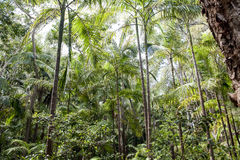 Australian Jungle. Natural green jungle in the rainforest of Australia stock image