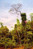 Jungle Royalty Free Stock Image