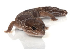 Jungle African Fat-tailed Gecko Royalty Free Stock Photos