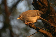 Jungle babbler Stock Photography