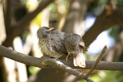 Jungle babbler Stock Image