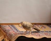 Jungle Babbler bird with food in beak. Jungle Babbler bird sitting on table with food in beak Stock Photos