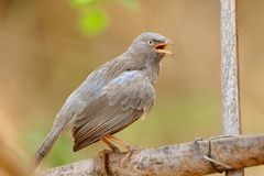Jungle babbler bird royalty free stock photography