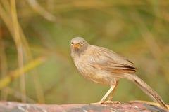 Jungle babbler bird royalty free stock photos