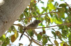 Jungle babbler bird Royalty Free Stock Images
