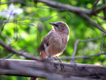 Jungle Babbler. A closeup view of the Jungle babbler bird found in India Stock Photo
