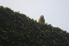 Jungle Babbler Royalty Free Stock Image