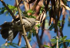 Jungle Babbler perched on a branch stock image