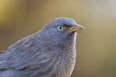 Jungle Babbler Stock Photo