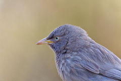 Jungle Babbler. In the Sariska Tiger Reserve Royalty Free Stock Photography