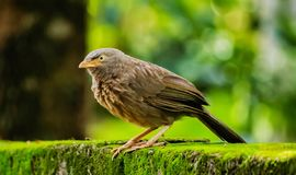 The Jungle babbler sitting on wall royalty free stock image