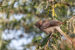 Jungle Babbler Stock Photos