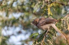 Jungle Babbler stock photos