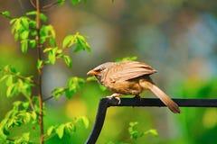 Jungle babbler, Turdoides striata, Kaziranga National Park royalty free stock photos