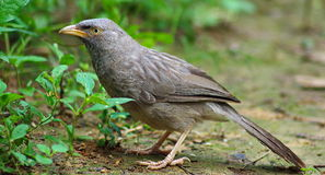 Jungle babbler Turdoides striata royalty free stock photography