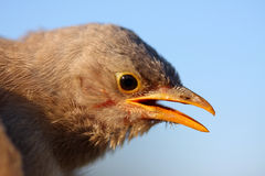 Jungle babbler Royalty Free Stock Image