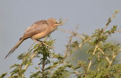 Jungle Babbler (Turdoides striata)  Perching on Babool Tree Stock Photos