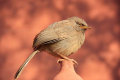 Jungle babbler (Turdoides striata) sitting at Ranthambore Fort, Royalty Free Stock Photo