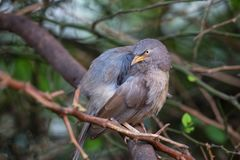 Jungle babbler Turdoides striata sitting on a tree in Keoladeo. Ghana National Park,  Bharatpur, India. The park was declared a protected sanctuary in 1971 and Stock Photography