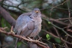 Jungle babbler Turdoides striata sitting on a tree in Keoladeo Stock Photo