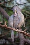 Jungle babbler Turdoides striata sitting on a tree in Keoladeo Royalty Free Stock Photos