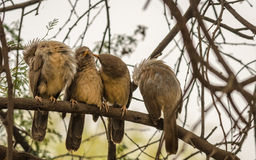 Jungle Babblers group in queue Stock Images