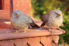 Jungle babblers (Turdoides striata) sitting at Ranthambore Fort, Royalty Free Stock Images