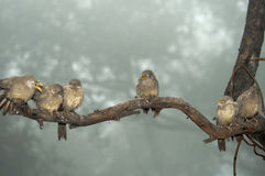 Jungle Babblers Turdoides striatus Royalty Free Stock Images