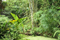 Jungle background. Very nice natural green jungle with small lake Stock Photos