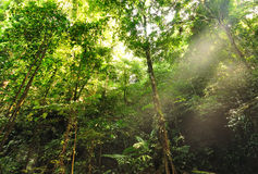 Jungle background. Morning Sunlight and rays in the jungle stock photography