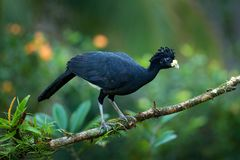 Jungle bird. Bare-faced Curassow, Crax fasciolata, big black bird with yellow bill in the nature habitat, Costa Rica. Wildlife sce. Bare-faced Curassow, Crax royalty free stock photos