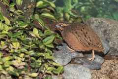 Jungle bush quail. Strolling on the rocks royalty free stock images