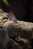Jungle butterfly showing it's beautiful red, black and white pattern Stock Photography