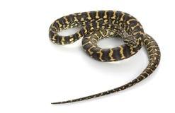 Jungle Carpet Python Stock Photos