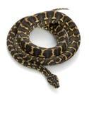 Jungle Carpet Python Stock Images