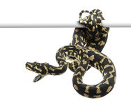Jungle carpet python attacking Stock Images