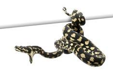 Jungle carpet python attacking. Morelia spilota cheynei against white background Royalty Free Stock Photography