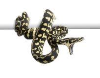 Jungle carpet python attacking. Morelia spilota cheynei against white background Royalty Free Stock Image