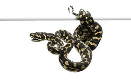 Jungle carpet python, Morelia spilota cheynei Royalty Free Stock Image