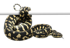 Jungle carpet python, Morelia spilota cheynei Stock Photos